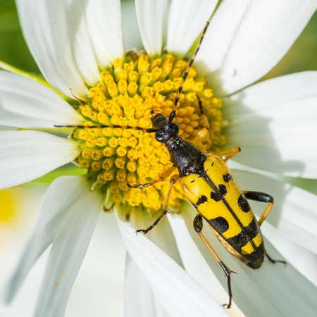 longhorn beetle: A macro shot of a longhorn beetle sitting on an ox eye daisy.