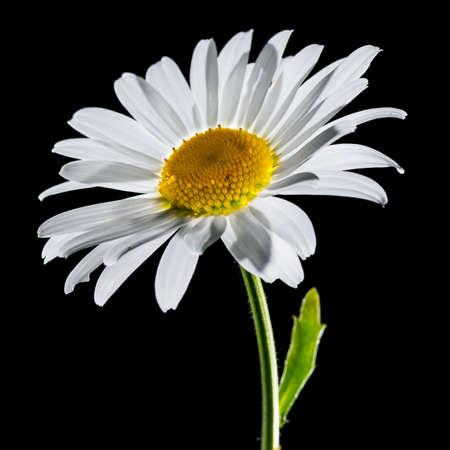 ox eye: A macro shot of an ox eye daisy bloom shot against a black background. Stock Photo