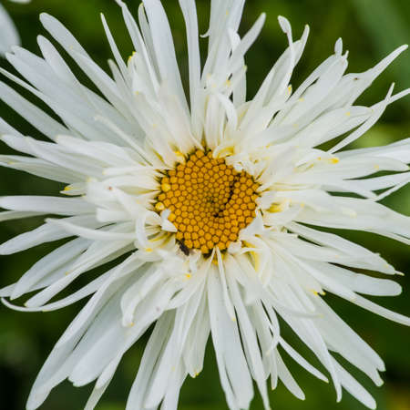 ox eye: A macro shot of a crazy daisy bloom, otherwise known as an ox eye daisy