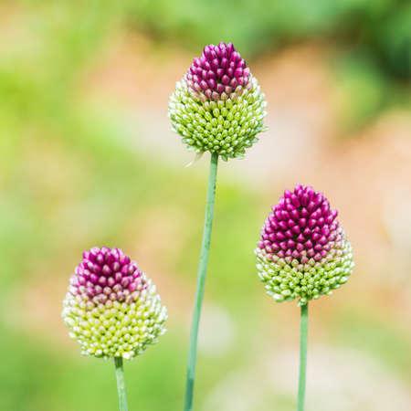 Bir allium çiçek baş bir makro çekim
