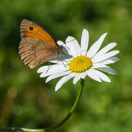 ox eye: A macro shot of a meadow brown butterfly sitting on an ox eye daisy.