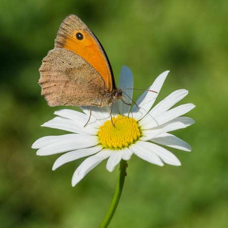 ox eye: A macro shot of a meadow brown butterfly sitting on an ox eye daisy.