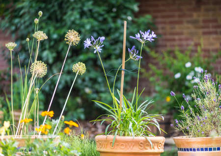 A garden scene featuring allium seed heads and agapanthus blooms. Imagens