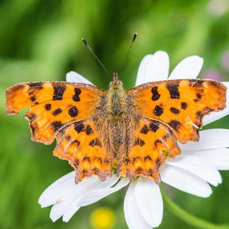 ox eye: A macro shot of a comma butterfly sitting on an ox eye daisy.