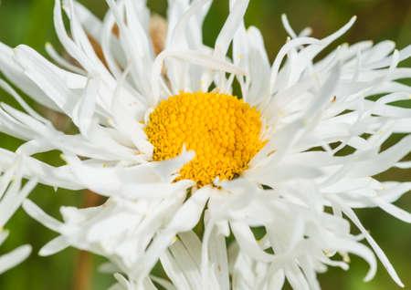ox eye: A macro shot of a crazy daisy - a variant of an ox eye daisy.