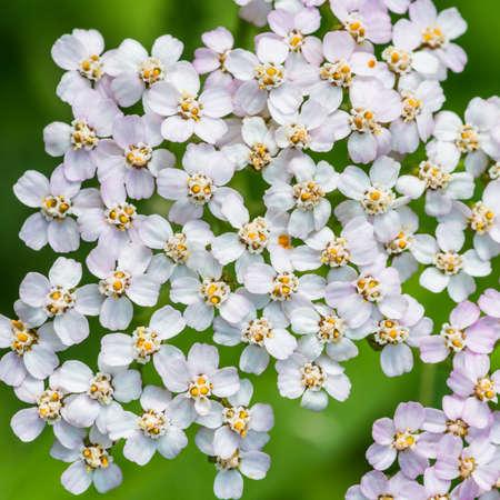 A macro shot of some yarrow blossom. Stock Photo
