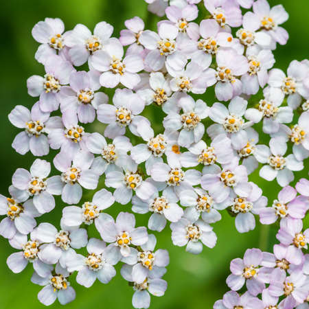 anther: A macro shot of some yarrow blossom. Stock Photo