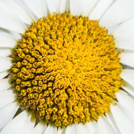 ox eye: A macro shot of the centre of an ox eye daisy.