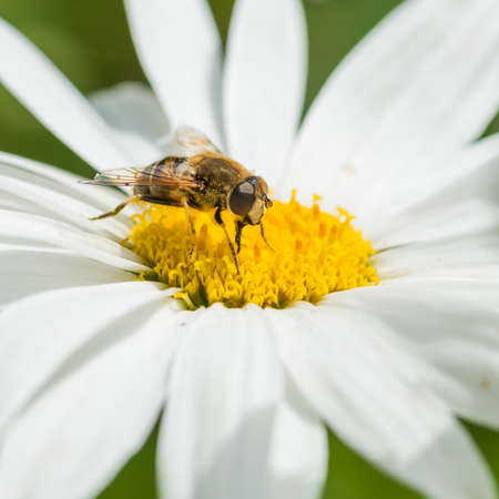 ox eye: A macro shot of a drone fly collecting pollen from an ox eye daisy. Stock Photo
