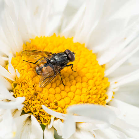 ox eye: A macro shot of a fly collecting pollen from a crazy daisy - a variant of ox eye daisy. Stock Photo