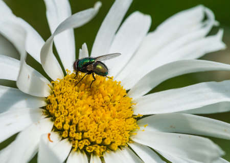 ox eye: A macro shot of a green fly collecting pollen from an ox eye daisy.