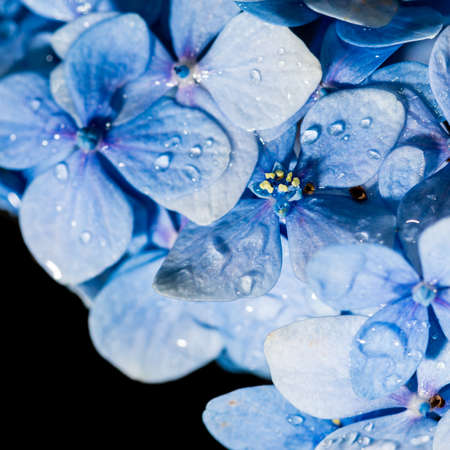 A macro shot of some blue hydrangea bracts, covered in raindrops. photo