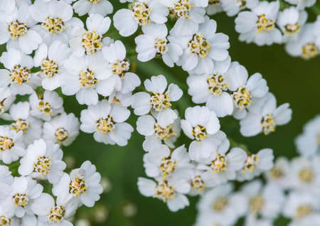 A macro shot of the small delicated flowers of a yarrow flower head. photo