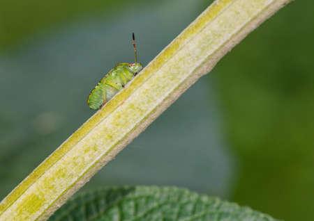 green shield bug: A macro shot of a green shield bug climbing the branch of a buddleia bush.