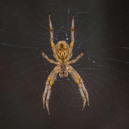 orb weaver: A macro shot of an orb weaver spider hanging in its web.