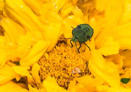 green shield bug: A macro shot of a shield bug standing atop a yellow marigold bloom. Stock Photo