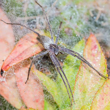 A macro shot of a nursery web spider sitting on its nursery web.