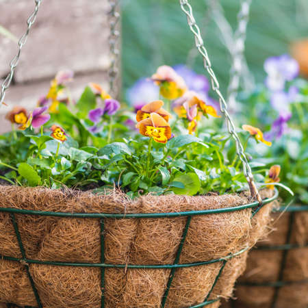 violas: A shot of some hanging baskets containing violas.