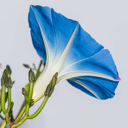 convolvulus: A macro shot of the blue trumpet-like bloom of a morning glory flower.