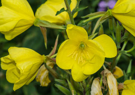 A macro shot of a yellow evening primrose bloom.