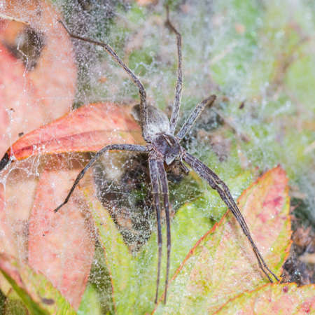 nursery web spider: A macro shot of a nursery web spider sitting on its nursery web.