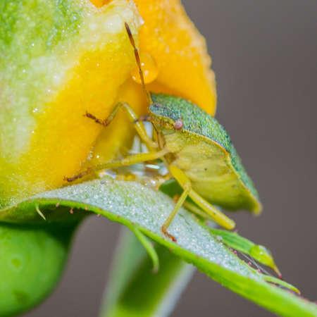 green shield bug: A macro shot of a green shield bug  scaling a yellow rose in the rain.