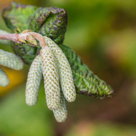 albero nocciola: Un colpo di macro di alcuni amenti formano su un nocciolo contorto.