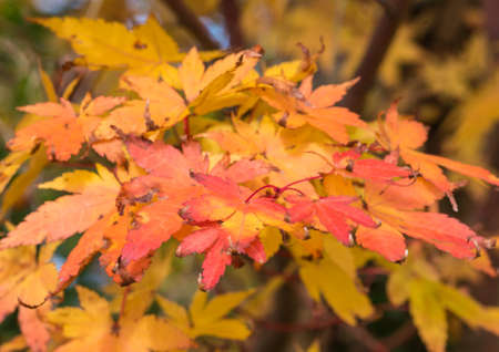 acer palmatum: A shot of the changing coloured leaves of an acer palmatum tree.