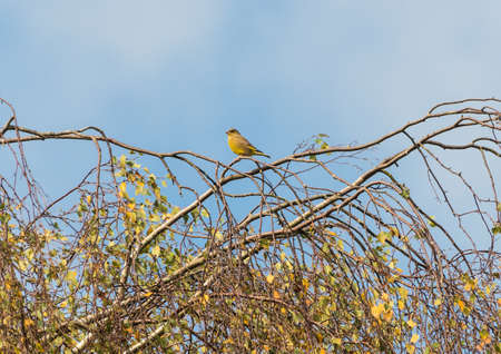 A greenfinch is perched in a tree. photo