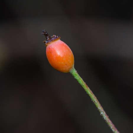A macro shot of a single rose hip. Stock Photo