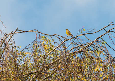 greenfinch: A greenfinch is perched in a tree.