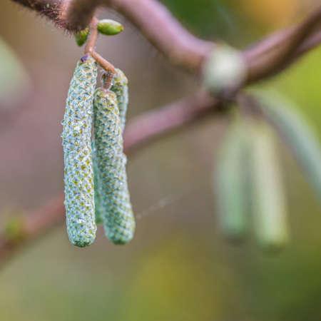 albero nocciola: Un colpo di macro di alcune nuove amenti nocciolo intrecciati.