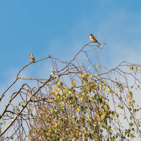 A pair of goldfinch share a treetop perch.