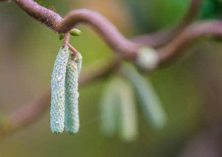 hazel tree: A macro shot of some new twisted hazel tree catkins. Stock Photo