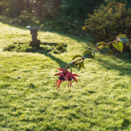 A shot of some fuchsia blooms in front of the late afternoon sun casting shadows on the lawn of a residential garden. Stock Photo