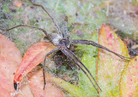 pisauridae: A macro shot of a nursery web spider sitting on its nursery web.