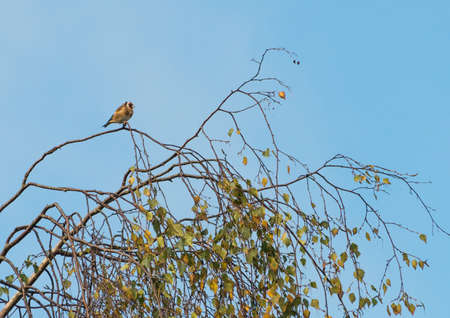 goldfinch: A goldfinch sits in a treetop.