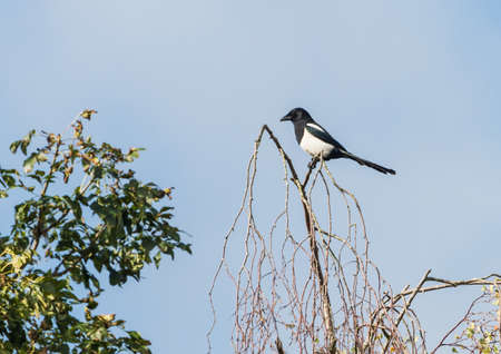 corvidae: A magpie sits in a treetop. Stock Photo