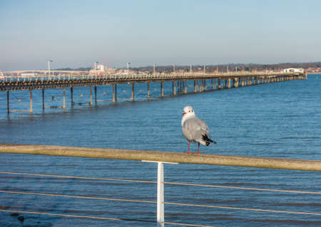 A black headed gull sits on a fence overlooking the sea. photo