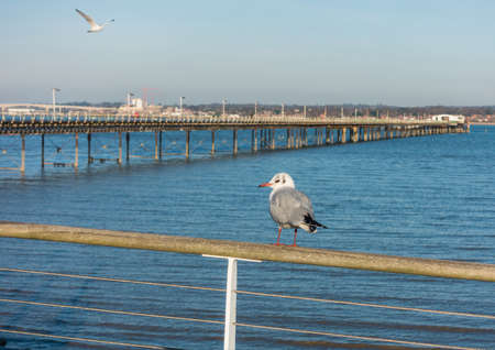 chroicocephalus: A black headed gull sits on a fence overlooking the sea. Stock Photo