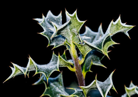 A macro shot of some green holly leaves that have a coating of frost. photo