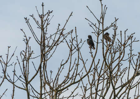 preen: A couple of preening starlings sitting in a tree.