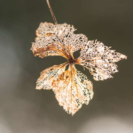 decaying: A macro shot of the decaying remains of a hydrangea bract. Stock Photo
