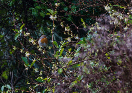 red breast: A robin red breast sits in a honeysuckle bush.