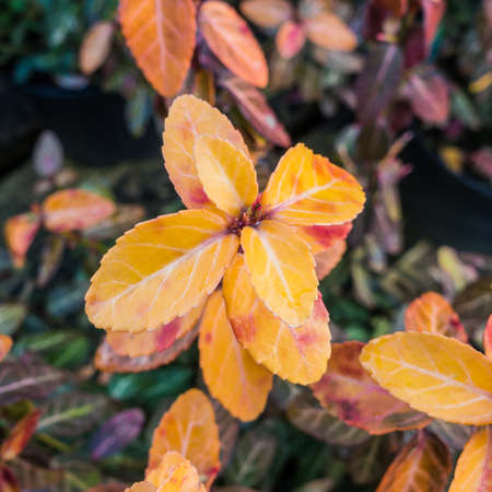 goldy: A macro shot of the golden leaves of a euonymous bush.