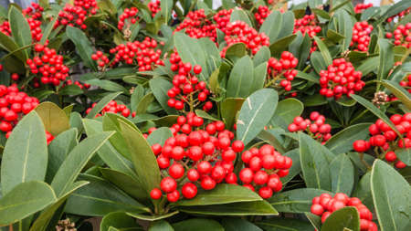 A shot of some skimmia japonica plants with red berries.