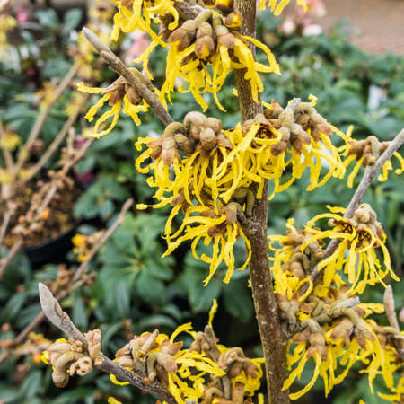 A macro shot of the yellow blooms of a witch hazel plant.