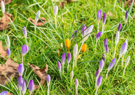 turf flowers: A shot of some crocus emerging in time for springtime.