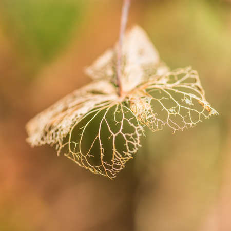 decaying: A macro shot of a decaying hydrangea bract shot with a very shallow depth of field.