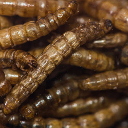 mealworm: A macro shot of some mealworm larvae.